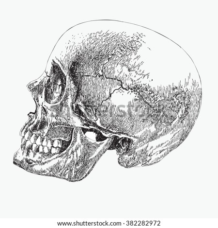 skull of a human in profile, hand drawing, vector illustration. - stock vector