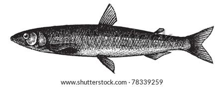 Smelt or European Smelt or Osmerus eperlanus, vintage engraving. Old engraved illustration of a Smelt. Trousset Encyclopedia - stock vector