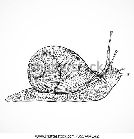 Snail. Vintage hand drawn vector illustration - stock vector