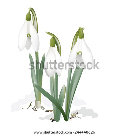 Snowdrops - Galanthus nivalis. Hand drawn vector illustration of  snowdrops, the first wildflowers which signal the spring piercing the snow in February. White background.