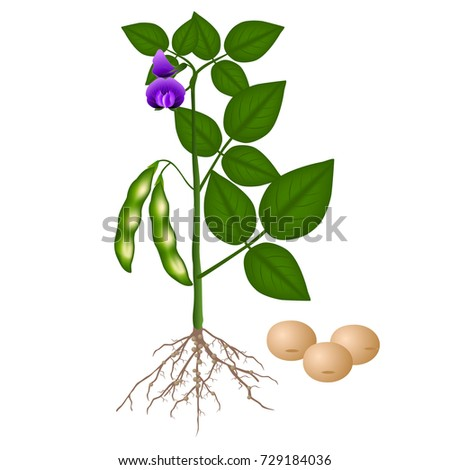 Soybean Plant Free Vector Art  7334 Free Downloads