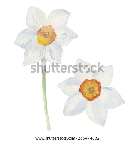 Spring flowers narcissus isolated on white background. Vector, watercolor hand drawn  illustration. - stock vector
