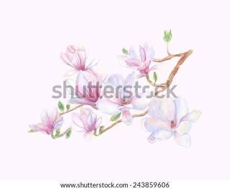 Spring magnolia tree blossoms. - stock vector