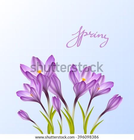 Spring violet crocuses on blue sky. Floral nature spring background. illustration crocus flower. Spring crocus flower. Greeting card crocus flower. Beautiful crocus flower .Delicate crocus flower - stock vector