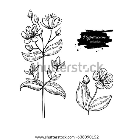 St Johns Wort Vector Drawing Set Isolated Hypericum Wild Flower And Leaves Herbal