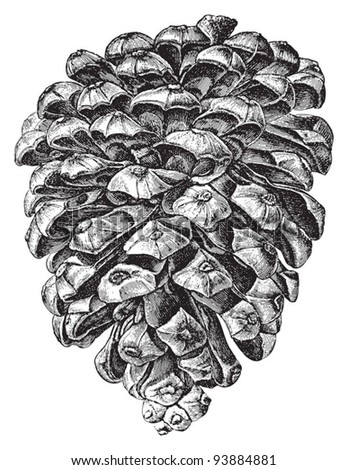 Stone Pine (Pinus Pinea) / vintage illustration from Meyers Konversations-Lexikon 1897 - stock vector
