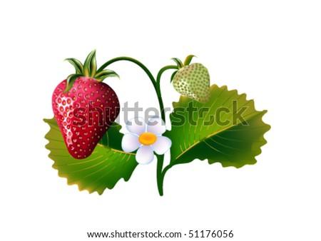 Strawberries - stock vector