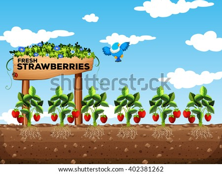Strawberry Fields Stock Images Royalty Free Images