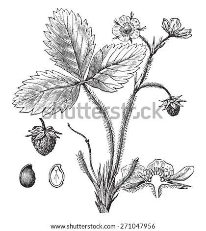 Strawberry, vintage engraved illustration. La Vie dans la nature, 1890. - stock vector