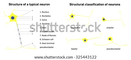 Structural classification of neurons , neuronal types, neuron, structure of a typical neuron; vector illustration  - stock vector