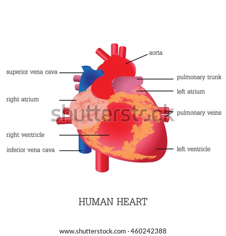 Structure function human heart anatomy system stock vector 460242388 structure and function of human heart anatomy system healthy education vector illustration ccuart Image collections