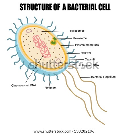 Plasmids Stock Images, Royalty-Free Images & Vectors | Shutterstock
