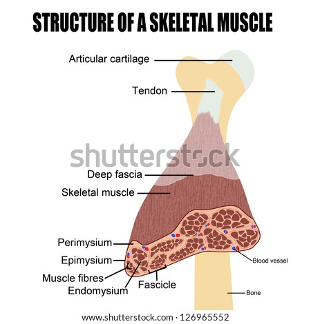 Structure of a skeletal muscle(useful for education in schools and clinics ) - vector illustration - stock vector