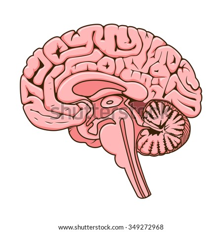 Structure Human Brain Section Schematic Vector Stock ...