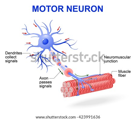 structure of motor neuron. The impulses are transmitted through the motor neuron in one direction - stock vector
