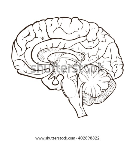 Structure of the human brain hemispheres - stock vector