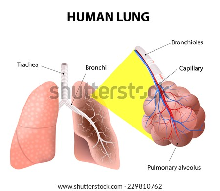 Bronchi stock images royalty free images vectors shutterstock structure of the human lungs air enters your lungs through a system of the bronchi ccuart Gallery
