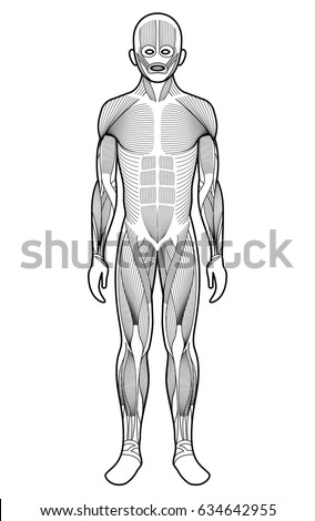 Stylized Anatomy Diagram Showing Major Muscle Stock Vector (Royalty ...