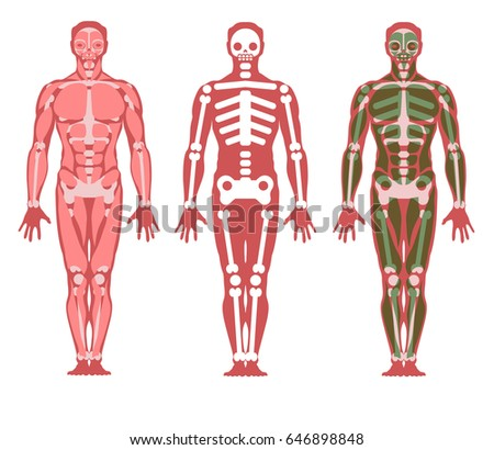 Stylized Scheme Human Body Skeleton Muscles Stock Vector Hd Royalty