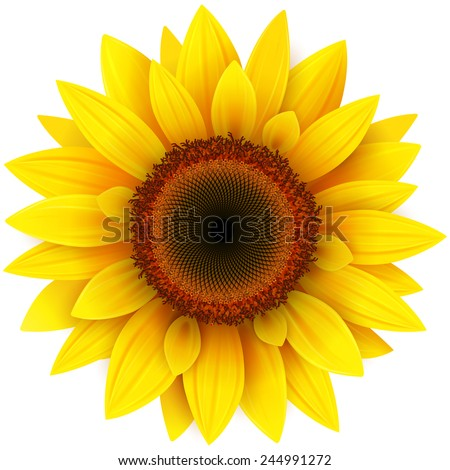 Sunflower, realistic vector illustration. - stock vector