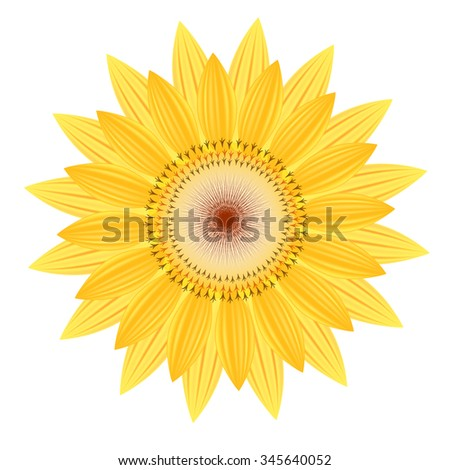 sunflower vector flower nature illustration yellow summer bright natural flora beautiful white