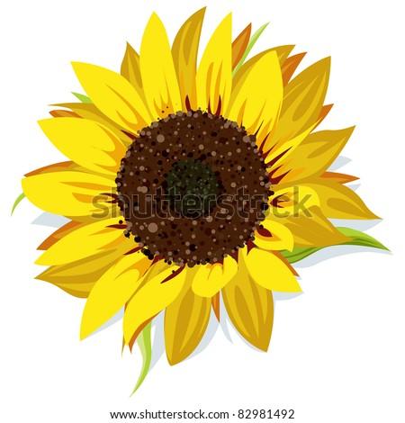 sunflower vector isolated on white background - stock vector
