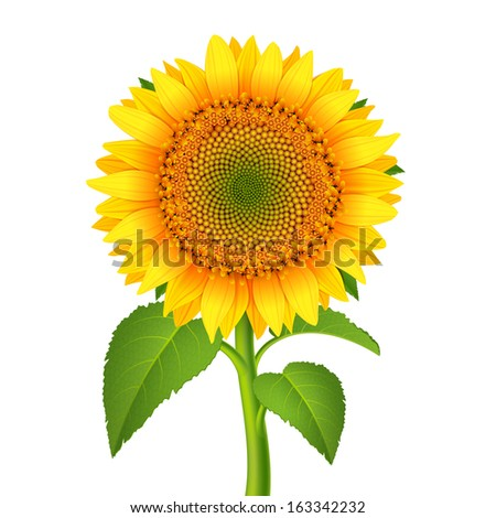 Sunflower with pedicle isolated on white vector illustration - stock vector