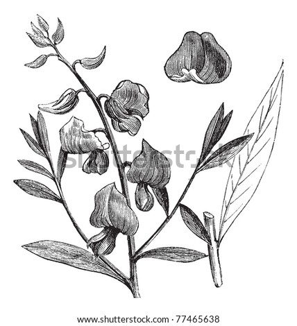 Sunn or Sunn Hemp or Crotalaria juncea, vintage engraving. Old engraved illustration of a Sunn showing flowers. Trousset Encyclopedia. - stock vector
