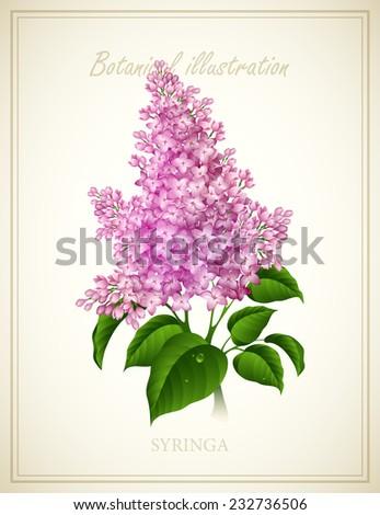 Syringa. Botanical Vector illustration - stock vector