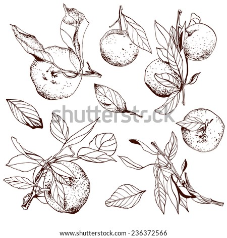 Tangerines, hand drawn set with branches and leaves - stock vector