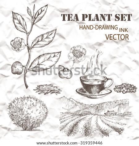Tea plant set. Hand drawn. Vintage background. - stock vector
