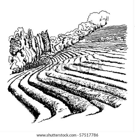 Tea Plantations - vector illustration - stock vector