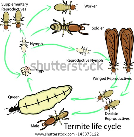termite life cycle - stock vector