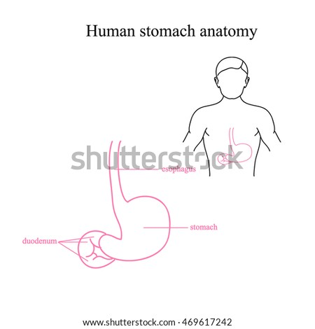 The anatomy of the human stomach. Location of the stomach in a human body. Stomach and esophagus.. Illustration