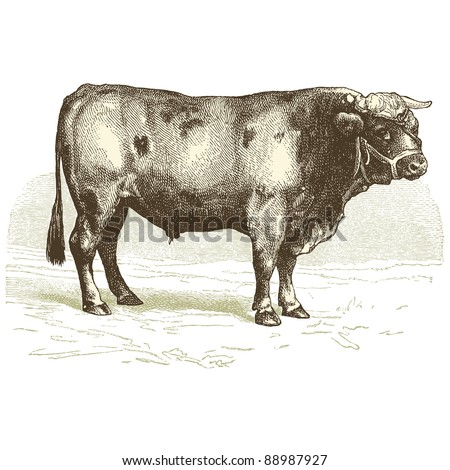 """The beef - Vintage engraved illustration - """"Cent récits d'histoire naturelle"""" by C.Delon published in 1889 France - stock vector"""