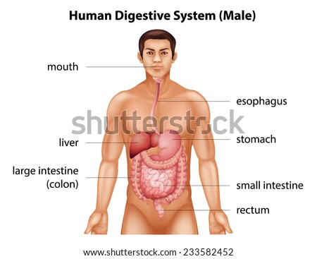 The digestive system of human - stock vector