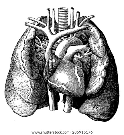 The heart in the middle of the lungs, vintage engraved illustration. La Vie dans la nature, 1890. - stock vector