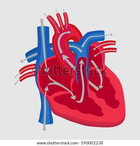 "a study of the human heart The human heart a bible study the word ""heart"" is used some 765 times in our english bibles--nearly 900 times, if you count all the compound words like ""hardhearted."