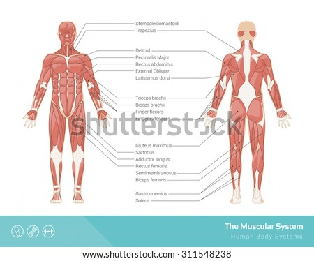 Human Muscular System Vector Illustration Front Stock Vector ...