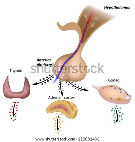 The hypothalamic pituitary axes - stock vector