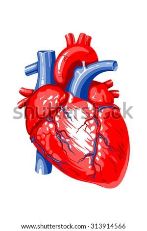 The image of the human heart on a white background - stock vector