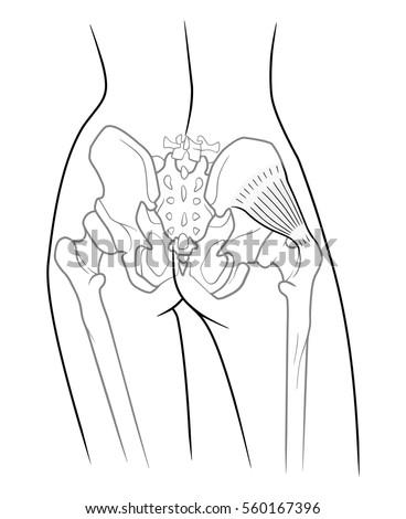 pelvic girdle stock images  royalty
