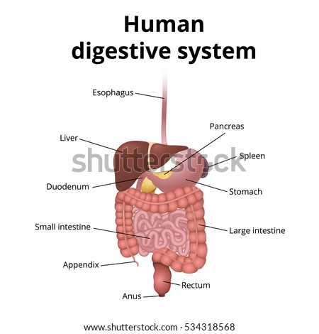 Location Gastrointestinal Tract Body Human Digestive Stock Vector ...