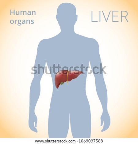 Location liver body human digestive system stock vector royalty the location of the liver in the body the human digestive system ccuart Choice Image