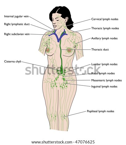 Lymphatic system labeled em vetor stock 47076625 shutterstock the lymphatic system labeled ccuart Images