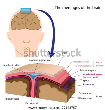 The meninges of the brain - stock vector