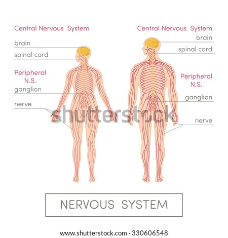 Nervous system human cartoon vector illustration stock photo photo the nervous system of a human cartoon vector illustration for medical atlas or educational textbook ccuart Image collections