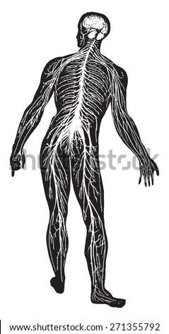 The nervous system, vintage engraved illustration. - stock vector