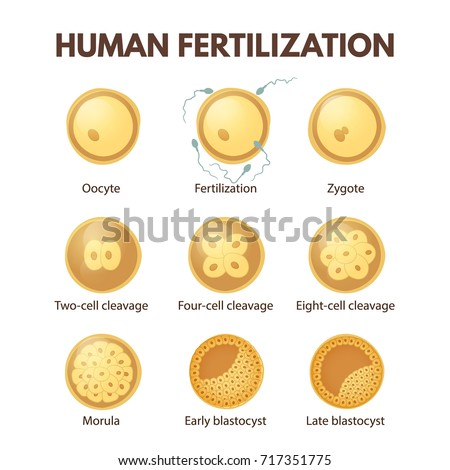 Process Cell Division Early Stages Development Stock ...