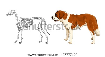 The skeleton of predatory mammal. St. Bernard. The breed of large dog. The anatomical features. Vector.